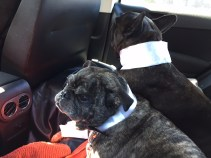 Meet Gucci (French Bulldog) and Brutus (PugXFrenchie), on their way to a bulldog ball! Dogs are so good to come home to and the best givers of unconditional love. - Andrea