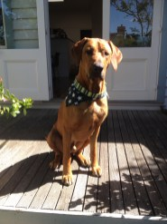 This is Monte, he is a 2 year old Rhodesian Ridgeback and is characterised by a ridge of hair on his spine growing against the other hair (kind of like a mohawk). He is a gentle, laid-back giant, intelligent and athletic and loves to come for a cross-country run with me but is equally happy to find a sunny place and snooze the day away. - Sue