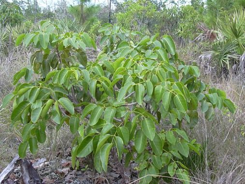 Poisonwood bush