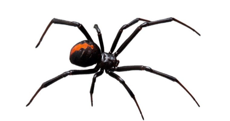 Harmless or Deadly? How to Identify Common Spiders