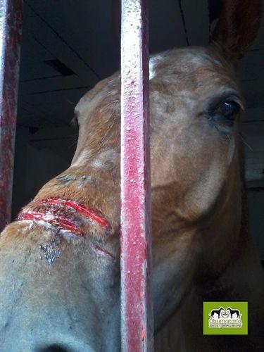 caballo serretas Canales