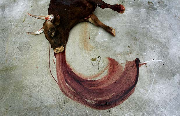 toro sangrando