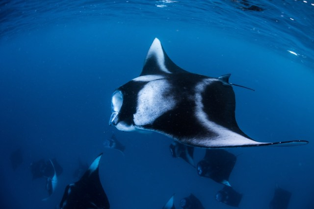 best places to dive with manta rays baa atoll