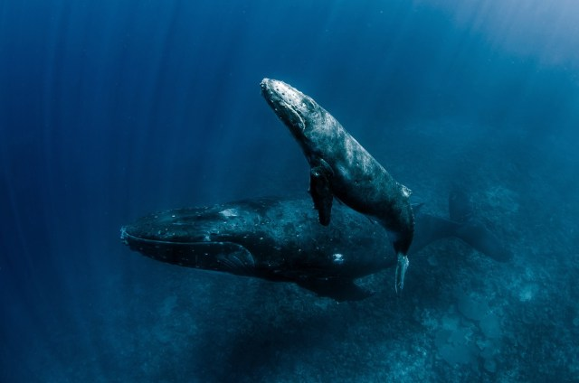 best places to swim with humpback whales