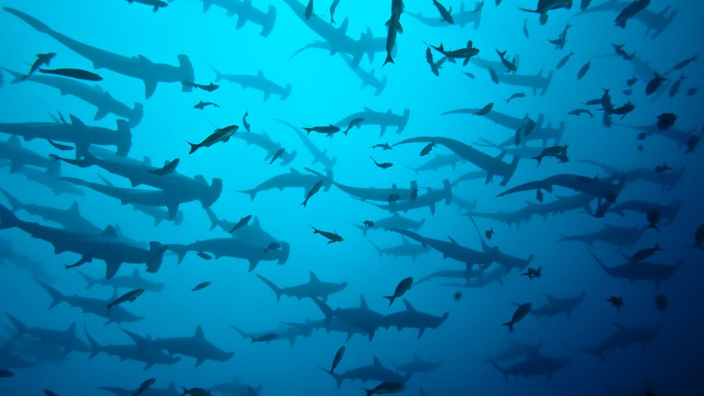 diving with hammerhead sharks in cocos island