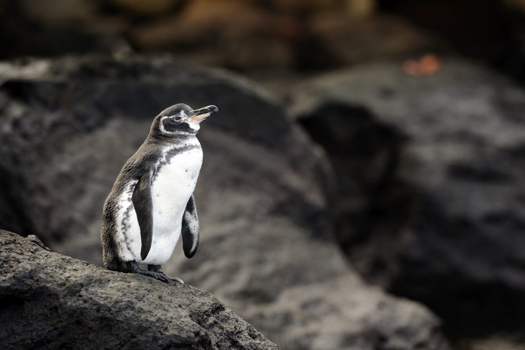 diving with penguins in the galapagos