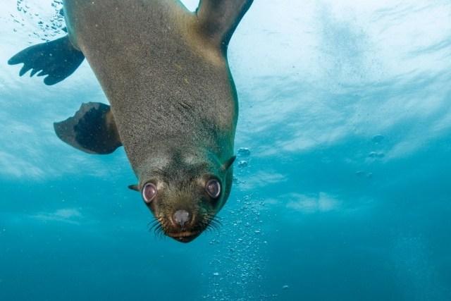seal - underwater - sea lion