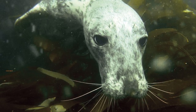 A curious grey seal coming up for a closer look while scuba diving at The Smalls in Pembrokeshire
