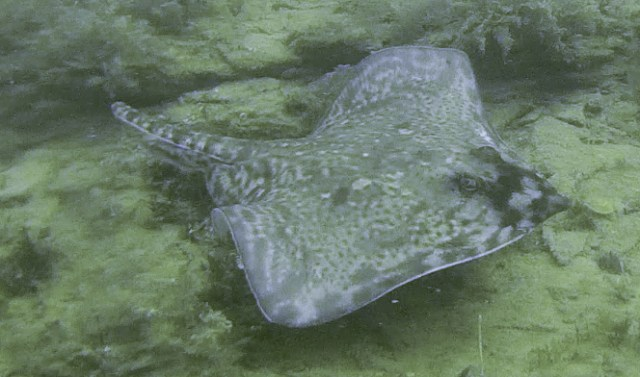 A thornback ray, spotted while scuba diving near the wreck of the SS Volnay in Cornwall