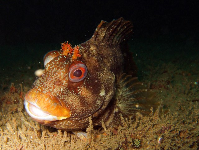 A tompot blenny sitting on a wreck, and a popular species to see while exploring the best of UK diving