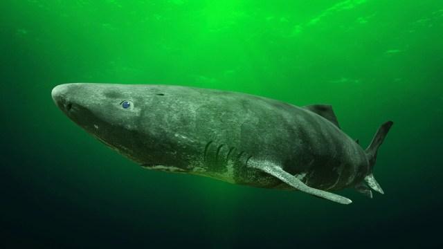 greenland shark arctic scuba diving
