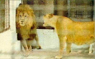 Leão casado