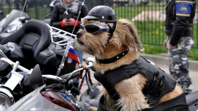 motorbril voor hondne