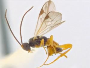 image-3-sathon-cinctiformis
