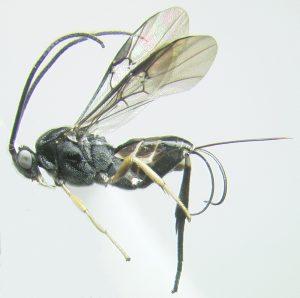 Chimaeragathis eurysoma