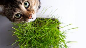貓草種子哪裡買、種植方式、與貓薄荷的差異大分析!