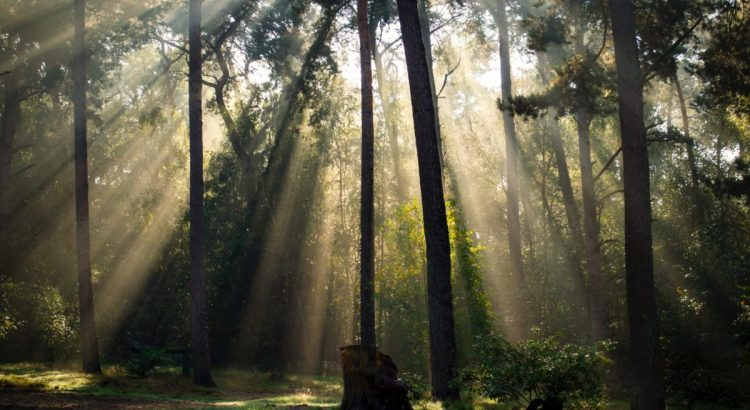 Rays of light in a forest.