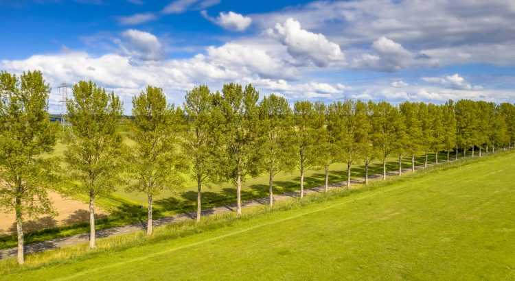 Traditional countryside scene in the Netherlands with windbreak lane of poplar trees in the wind under summer sky. Ens, Flevoland Province, the Netherlands.