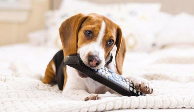Puppy chewing remote