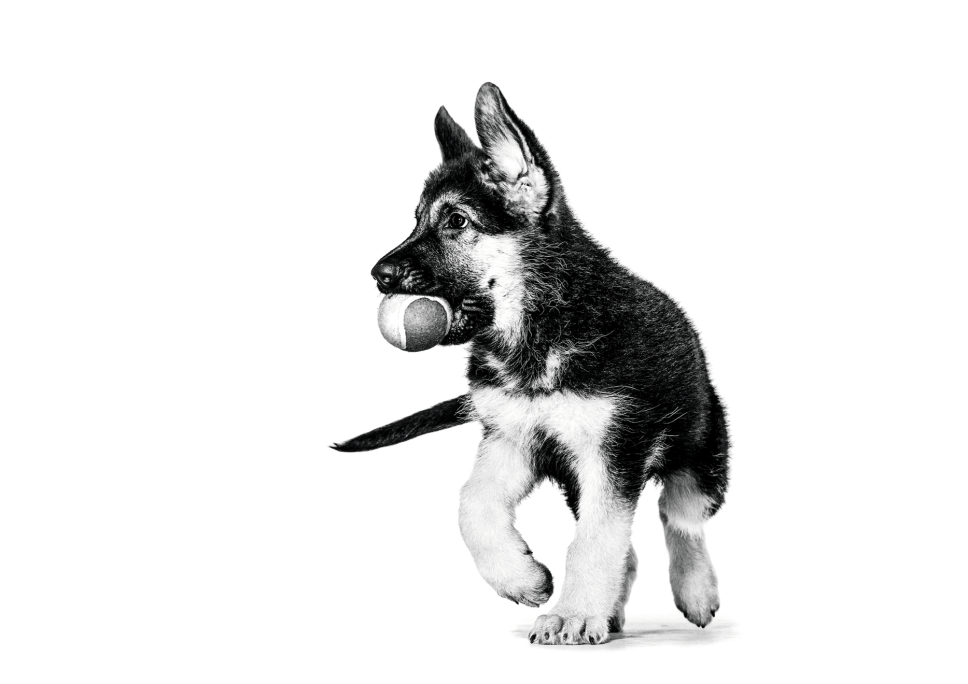 German Shepard Puppy Playing