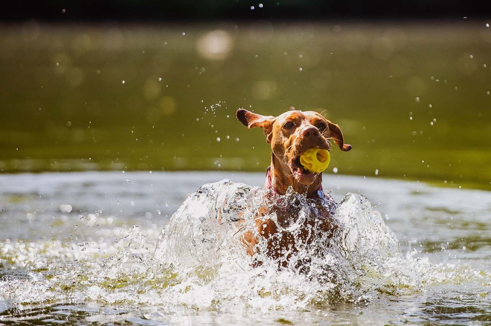 Dog with K9 Connectable in water.