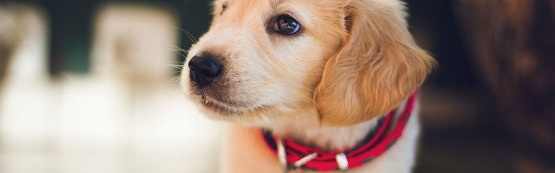 puppy with collar on