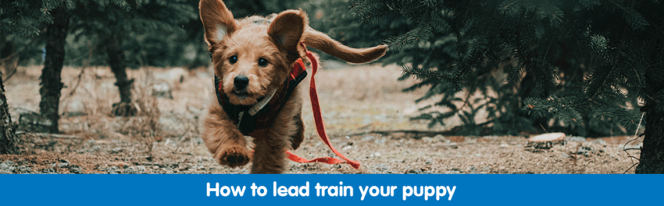 Lead training for puppies