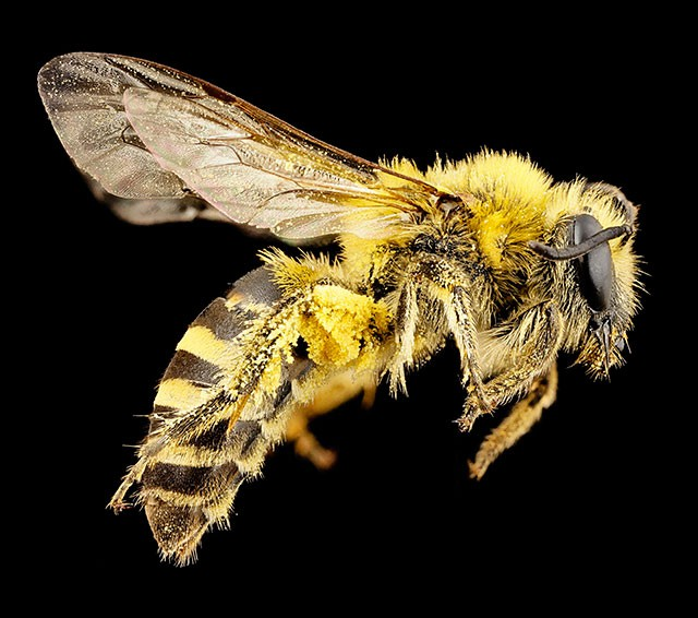 pop-usgs-macro-photos-of-bees-001