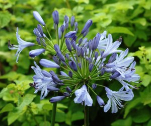 Agapanthus (lily-of-the-nile)