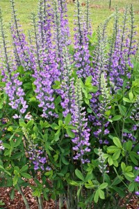 Baptisia 'Blue Towers'
