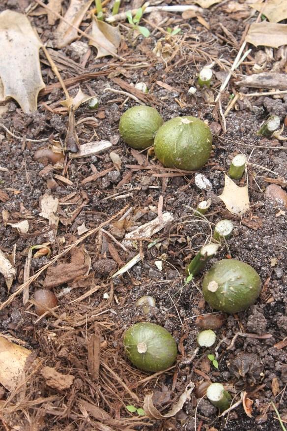 Aspidistra elatior Ashai in seed