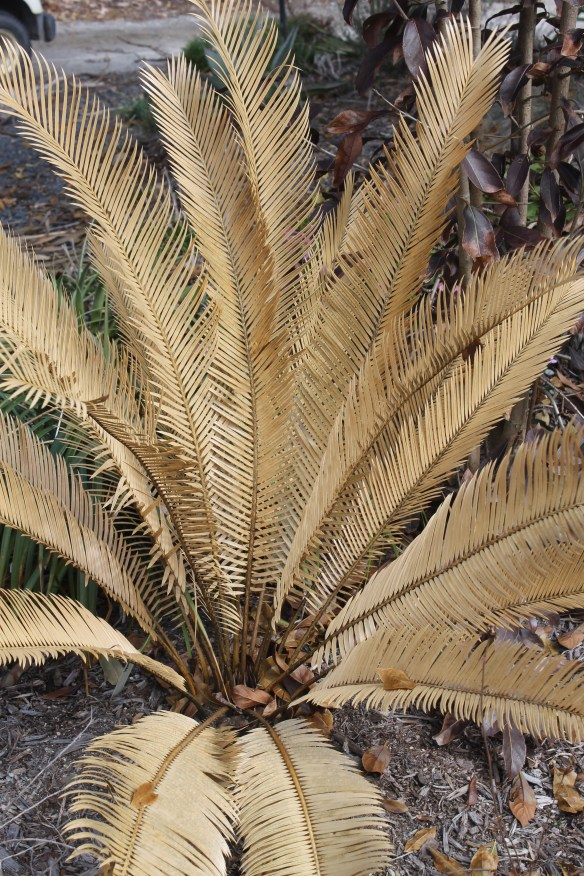 Cycas taitungensis x guizhoensis brown in winter