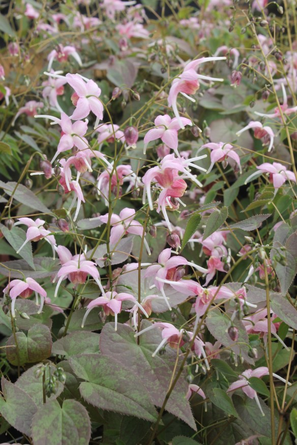 Epimedium Pretty in Pink7