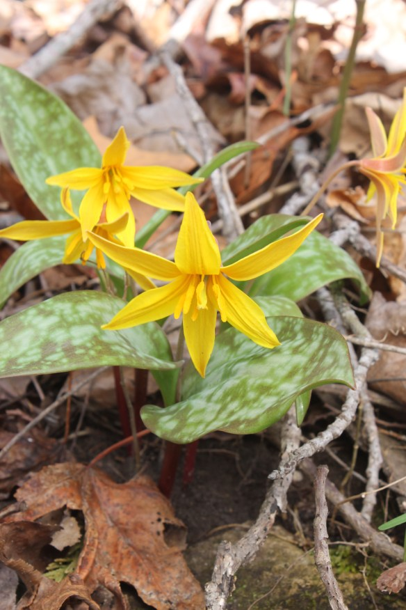 Erythronium rostratum in flower at stop 12 AR3