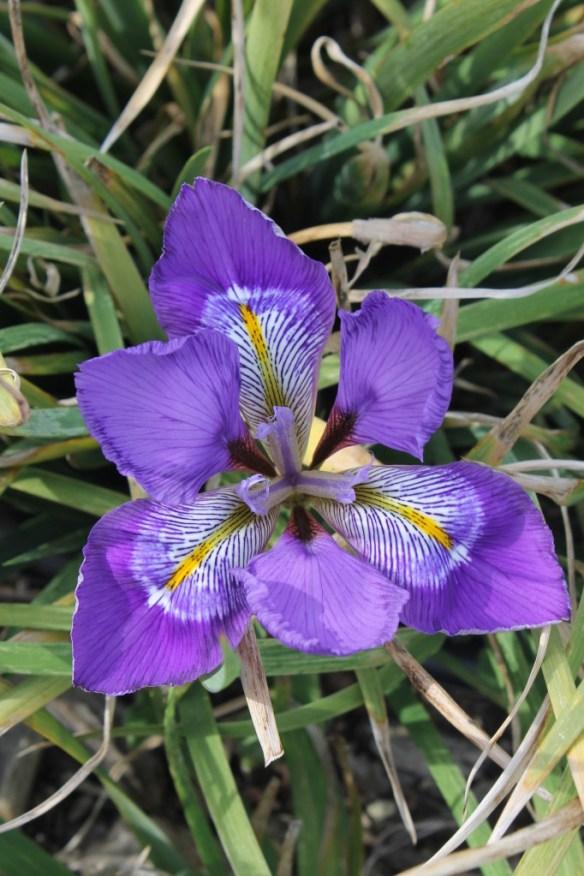 Iris unguicularis Dazzling Eyes4