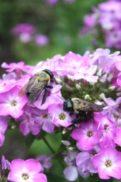 Phlox paniculata 'Purple Eyes' with bees