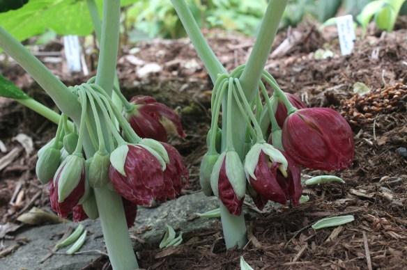 Podophyllum pleianthum A1TW-004 flowers