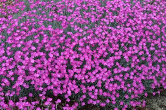 Dianthus Feurhexe8