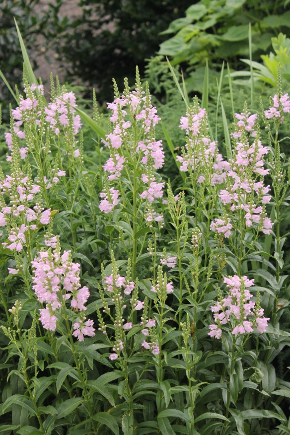 Physostegia virginiana Pink Manners