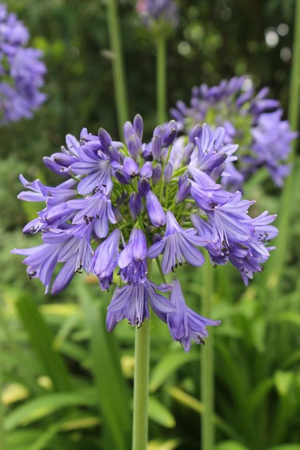 Agapanthus Ellamae flower closeup