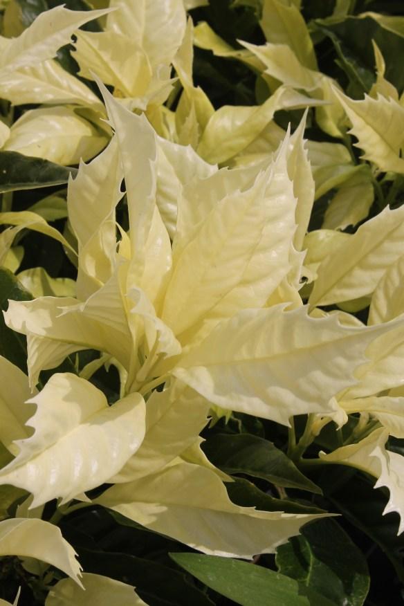 Aucuba japonica Natsu no Kumo3 (63609)