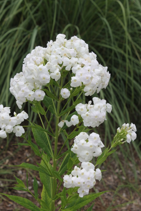 Phlox paniculata Dunbar Creek5