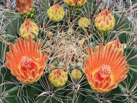 Ferocactus wiszlenii in flower (A Avent)