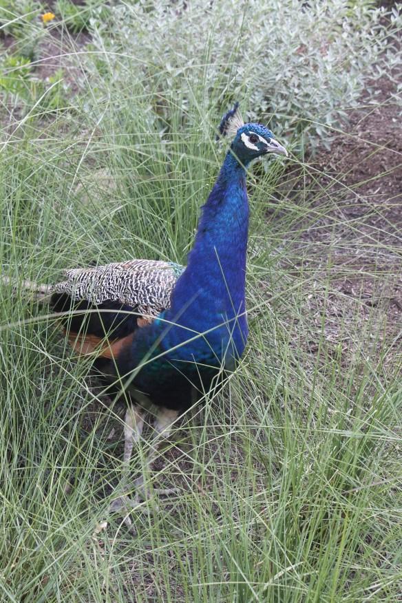 Muhlenbergia Peacock at Cincinatti Zoo