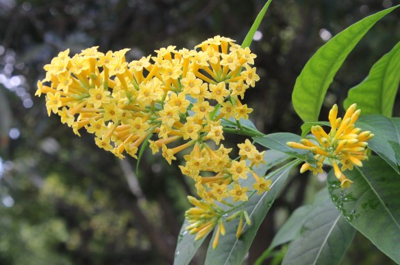 Cestrum Orange Peel flower closeup8
