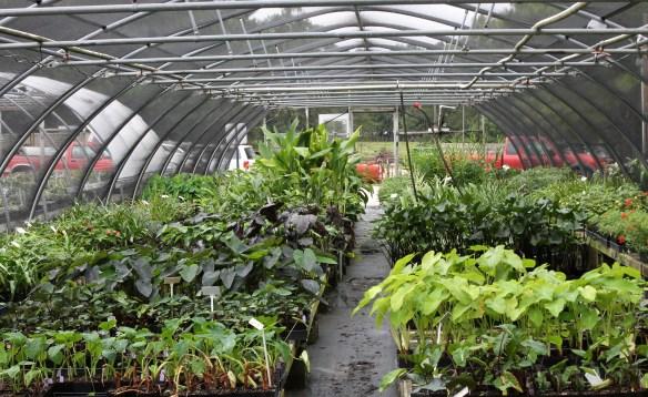 Greenhouse 13 colocasias