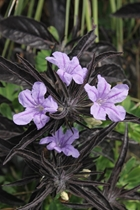 Ruellia 'Black Beauty'