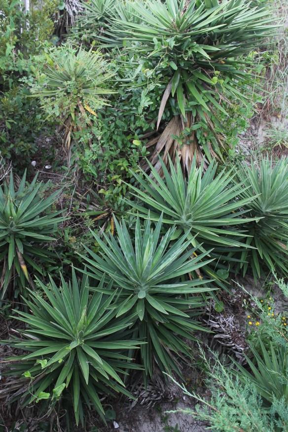 Yucca aloifolia x gloriosa at Emerald Isle