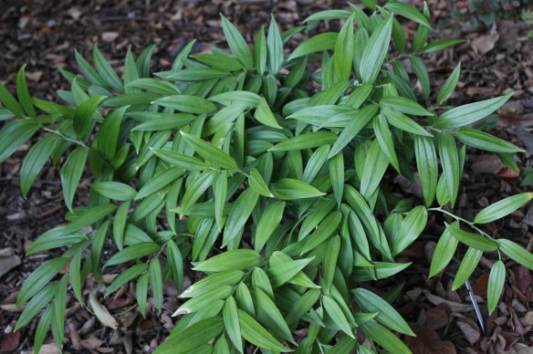 Disporopsis pernyi Heronswood form