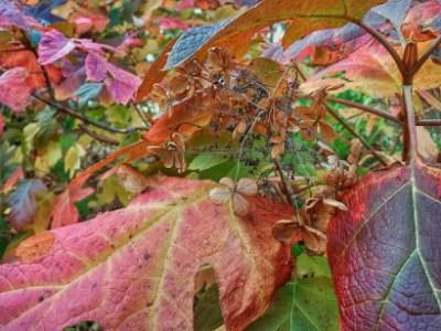Fall hydrangea leaves at JLBG